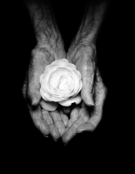 Grandma's Hands Holding a Rose