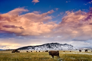Bison and Sky